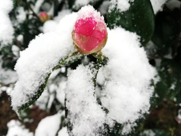 雪中山茶花.jpg